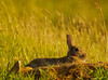Leveret (xDigital-Dreamsx) Tags: wildlife nature animal countryside field rural sunlight sunny grass hare coth alittlebeauty coth5