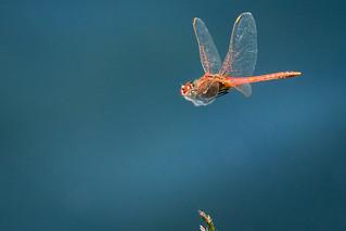Red-veined Darter in Flight