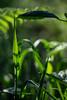 Sheltered (Shastajak) Tags: bokeh leaves shadows light grass bramble fern 1971supermulticoatedtakumar11855 takumar f18 manualfocus 55mm m42