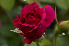 IMG_4816 (Lightcatcher66) Tags: rosen rosa königinenderblumen lightcatcher66