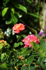 DSC_0316 (PeaTJay) Tags: nikond750 reading lowerearley berkshire macro micro closeups gardens outdoors nature flora fauna plants flowers rose roses rosebuds