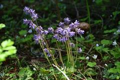 Mountain flowers (petrOlly) Tags: europe europa slowakei slovakia slovensko słowacja sk2018 nature natura przyroda flower flowers vrbickémountainlake demänovskávalley