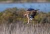 Poetry In Motion DSC_2513 (BlueberryAsh) Tags: birdofprey june2018 raptor wtp whistlingkite birds nikond500 tamron150600 haliastursphenurus pointwilson australianbird