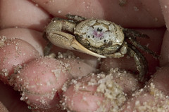 A Crab in the Hand (brucetopher) Tags: fiddlercrab crab crustacean seacreature claw fiddle big lopsided strong arm wing island beauty pattern markings coloration nature natural tide colorful tiny small bait foodchain saltmarsh tidalbasin macro closeup critter beautiful