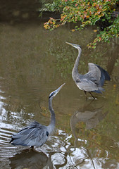 Juvenile vs Adult (to my surprise, the juvenile won) (John's Love of Nature) Tags: greatblueheron ardeaherodias johnkelley johnsloveofnature