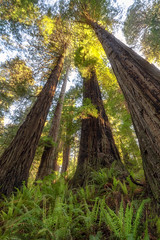 Walking Amongst the Giants (optimalfocusphotography) Tags: northerncalifornia california usa landscape nature nationalpark trees spring redwoodnationalpark humboldtcounty path redwoods
