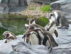 Knuffelen (Ilona67) Tags: pinguin emmen dierentuin wildlands