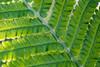 Durchscheinend schön (ralfkai41) Tags: farn plant macro pflanze nature fearn leaf makro outdoor blatt gegenlicht natur backlight