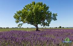 Tree in a lavender field (P.Ebner) Tags: tree lavender field provence provenza valensole violet lavanda flower