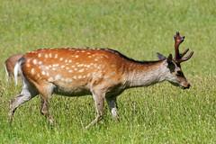 2018.05.27 Arne (57) (Kotatsu Neko 808) Tags: arne dorset rspb rspbarne deer sika sikadeer