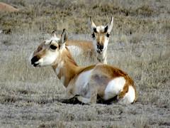 Antelope at rest (1 of 2) (jimsawthat) Tags: wildlife pronghornantelope rural encino newmexico highdesert