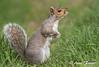devising a plan (Anne Marie Fraser) Tags: devisingaplan squirrel graysquirrel nature wildlife grass easterngraysquirrel