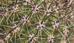 Thorns of wonder (Coisroux) Tags: macromonday allnatural thorns macro natural plants flora cactus d850 nikond850 microscopic hss