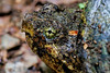 Snapping Turtle (dianne_stankiewicz) Tags: turtle snappingturtle nature wildlife eye camouflage reptile coth coth5