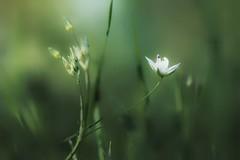 In the grass... (JiJaRo) Tags: nature flowers flower green czech macro canon grass garden bokeh
