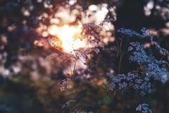 sunset through hedgerow... (CatMacBride) Tags: sunset hedgegrow flow blossom bokeh lensbaby velvet 56 cowparsley