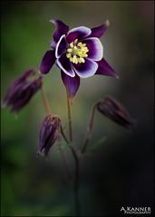 Columbine... (angelakanner) Tags: canon70d lensbaby twist60 composerpro columbine springflowers closeup blur