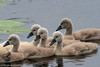 _KJM5324_20180601_141921 (KJvO) Tags: achterhoek cygnets groenloscheslinge jongezwanen knobbelzwaan meddo muteswan nederland swan water zwaan