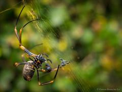 Golden Orb Weaver (Gawen Breteche-Lo) Tags: golden orb weaver spider silk arachnid nephila insect macro australia queensland