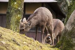 奈良公園、奈良、日本 — Nara Park, Nara, Japan (Tiphaine Rolland) Tags: japon japan nara kansai 日本 奈良 関西 春 spring printemps narapark 奈良公園 park parc 公園 biche deer 鹿 動物 animal