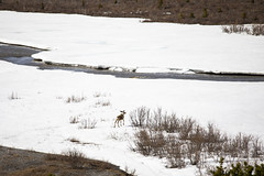 Denali National Park Caribou (milepost430media.com) Tags: denali alaska nationalpark outdoors environment background nature beautiful cold snow summer season unitedstates dslr canon 5d markiv travel tourism holiday vacation natural spring river valley stream glacier caribou reindeer animal savageriver