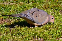 Mourning Dove (Astral Will) Tags: bird dove mourningdove feeding moss eyering
