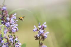 De fleur en fleur (dfouchs) Tags: sony alpha 77 fleur jardin