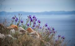 Iris (Cyrielle Beaubois) Tags: 2017 canoneos5dmarkii hvar island croatia iris flower bokeh dof cyriellebeaubois avril spring travel voyage explore wanderlust wander