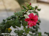Hibiscus in my daughter's garden:This is Aduku Sembaruthi in Tamil:It has medicinal properties;Widely used in the hair oil preparations;It prevents hair-loss (ppaulvadivu) Tags: paulvadivu chennai india flowers hibiscus home garden