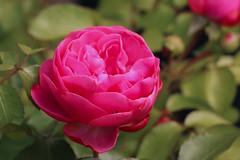 Pretty Peony (gripspix (OFF)) Tags: 20180531 nature natur blüte blossom peony pfingstrose duftend scent pink green grün garden garten mine meine