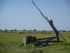 P5310528 (turbok) Tags: brunnen ebene haustiere küherinder landschaft seewinkel tiere wasser c kurt krimberger