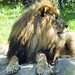 Akron Zoo 06-06-2014 - Lion 13