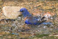 Western Bluebird taking a bath (Becky Matsubara) Tags: avian bird birds bluebird california ebrpd eastbayregionalparks garinregionalpark nature outdoors sialiamexicana thrush westernbluebird wildlife ebparksok bath bathing water creek blue