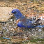 Western Bluebird taking a bath thumbnail