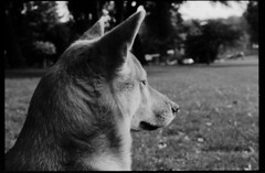 P63-2018-002 (lianefinch) Tags: argentique argentic analogique analog monochrome blackandwhite blackwhite bw noirblanc noiretblanc nb chien dog dogs chiens shiba inu fox renard animal nature parc