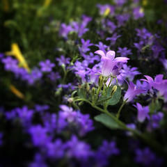 Little Flowers, Purple (Mabry Campbell) Tags: intimatelandscape squarecrop iphone june nature flower flowers purple newmexico santafe 2018 fav10 fav20 fav30 fav40