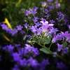 Little Flowers, Purple (Mabry Campbell) Tags: intimatelandscape squarecrop iphone june nature flower flowers purple newmexico santafe 2018
