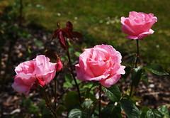 DSC_0153 (PeaTJay) Tags: nikond750 reading lowerearley berkshire macro micro closeups gardens outdoors nature flora fauna plants flowers rose roses rosebuds