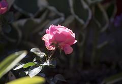 Leonardo da Vinci rose in darkness and light, Norway (Ingunn Eriksen) Tags: rose flower garden shadowandlight darknessandlight nikond750 nikon mygarden