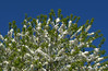 White tree blossom against a blue sky (Tony Worrall) Tags: update place location uk england north visit area attraction open stream tour country item greatbritain britain english british gb capture buy stock sell sale outside outdoors caught photo shoot shot picture captured nature natural life outdoor season grow plant colourful tree blossom blue sky color white branch