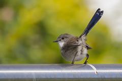 It's not mine (S♡C) Tags: superbfairywren australianbird tinybird 💩