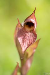 Fleur de Sérapia en gros plan (M@P31) Tags: 2018 fleur france hautegaronne jardin muret orchidaceae serapiaslingua sonya77 sérapiaslangue tamron90macro macro
