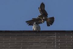 The Poor Owl Never Saw It Coming (Rick 2025) Tags: birds raptors falcons peregrinefalcons wildperegrinefalcons juvenile owls