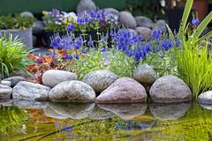 Beautiful light in the garden, Norway (Ingunn Eriksen) Tags: light reflections pond catmint kattemynte flowers mygarden