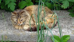 MICIO (cannuccia) Tags: gatti cats natura nature erba foglie animali fabuleuse