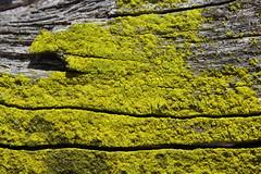 Lichen (Björn S...) Tags: lichen lichene flechte