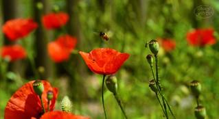 Poppy composition