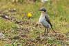 Wheatear (warren hanratty) Tags: bird oenantheoenanthe whetear wildbird wildlife warrenhanrattyphotography pembrokeshire nature