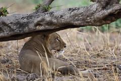 Lion (Jonas Van de Voorde) Tags: pendjari benin westafrica jonasvandevoorde safari wildlife nature animals lion pantheraleo