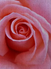 Pink Rose. (jenichesney57) Tags: rose precessing effect canvas panasoniclumix flower pink tones